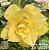 Muda Rosa do Deserto de enxerto com flor tripla na cor Amarela - EV04/21 Gema de Ovo - Imagem 1