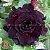 Muda Rosa do Deserto de enxerto com flor tripla na cor Roxa - EV35/21 Ozzy - Imagem 1