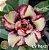 Muda Rosa do Deserto de enxerto com flor dobrada na cor Matizada - EV116/21  - Imagem 1