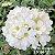 Muda Rosa do Deserto de enxerto com flor Simples Bouquet na cor Branca- EV66/21 Pluma Branca - Imagem 1