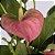Antúrio Pink - Imagem 3