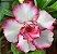 Muda de Enxerto - EV-070 - Flor Dobrada Branca - Imagem 1