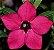 Rosa do Deserto Muda de Enxerto - Miss Vietnam - Flor Simples Pink - Imagem 2