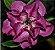 Muda de Enxerto - EV-457 - Flor Dobrada Roxa - Imagem 1