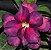 Muda de Enxerto - EV-446 - Flor Dobrada Roxa - Imagem 1