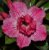 Muda de Enxerto - EV-002 - Flor Dobrada Pink Matizada - Imagem 2