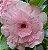 Muda de Enxerto - EV-005 - Flor Quadrupla Pink Bebê - Imagem 1