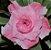 Rosa do Deserto Muda de Enxerto - EV-126 - Flor Tripla Branca/pink Mesclada - Imagem 2
