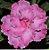 Muda de Enxerto - EV-351 - Flor Tripla em tom Rosa Claro - Imagem 1