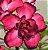 Muda de Enxerto - EV-216 - Flor Dobrada Pink Com Borda Escura - Imagem 1