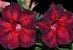 Muda de Enxerto - EV-438 - Flor Simples Vermelho com detalhes em tom escuro - Imagem 1