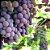 Óleo vegetal Semente de Uva - 500 ml - Imagem 2