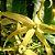 Óleo Essencial Ylang Ylang - Cananga odorata 5 ml (Phytoterápica) - Imagem 3