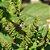 Óleo Essencial Patchouli  - Pogostemon patchouli 5 ml (Phytoterápica) - Imagem 3