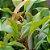 Óleo Essencial de Cravo - Eugenia caryophyllata 10 ml (Phytoterápica) - Imagem 2