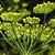 Óleo Essencial de Erva Doce - Foeniculum vulgare  5 ml (Phytoterápica) - Imagem 2