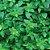 Oléo Essencial Manjericão  - Ocimun basilicum  10 ml (Phytoterápica) - Imagem 2