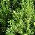 Óleo Essencial de Alecrim - Rosmarinus officinalis 10 ml (Phytoterápica) - Imagem 2