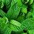 Óleo Essencial de Hortelã Pimenta - Mentha piperita 10 ml (Phytoterápica) - Imagem 3