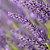 Óleo Essencial de Lavanda - Lavandula officinalis 10 ml (Phytoterápica) - Imagem 3