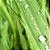 Óleo Essencial de Lemongrass - Cymbopogon citratus 10 ml (Phytoterápica) - Imagem 3