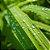 Óleo Essencial de Vetiver - Vetivera zizanoides 05 ml (Phytoterápica) - Imagem 3