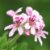 Óleo Essencial Gerânio - Pelargonium graveolens 5 ml (Phytoterápica) - Imagem 2