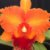 "Blc. Mirian Suzuki ""Orange Crush"" - Adulta - Imagem 1"