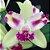 Pot. Haw Yuan Glory 'Golden Angel' x Lc. Penny Kuroda 'spots' - ADULTA - Imagem 1