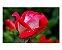 Ímã Decorativo Rosas - Garden - IFL10 - Imagem 1