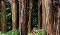 Eucalipto Arco-iris - 1 Muda  - Lindissima! - Imagem 1