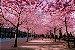 Cerejeira Sakura Okinawa - 1 Muda Com 60m de altura - Imagem 1