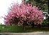 Cerejeira Prunus Serrulata Var. Kanzan - 1 Muda grande - Imagem 2