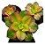 Suculenta Aeonium Kiwi - 1 unidade - Imagem 1