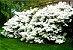 Azaleia Branca - 1 Muda Grande - Já Florindo! - Imagem 2