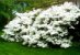 Azaleia Branca - 1 Muda! - Imagem 2