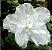 Azaleia Branca - 1 Muda Grande - Já Florindo! - Imagem 1