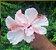 Hibisco rosa dobrado - mudas de 1 metro! - Imagem 1