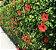 Hibisco Vermelho Flor Pequena - Mudas De 1 Metro! - Imagem 1