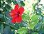 Hibisco Vermelho Flor Pequena - Mudas De 1 Metro! - Imagem 2