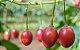 Tamarilho Roxo (tomate De Árvore) - 1 Muda - Imagem 2