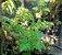 Citronela Americana - 1 Muda De Citrosa Geranium - Imagem 1