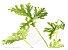 Citronela Americana - 1 Muda De Citrosa Geranium - Imagem 2