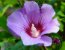 Hibisco Roxo - Cultivo Sem Agrotóxico! - Imagem 1