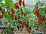 Pimenta Dedo De Moça - 1 Muda - Cultivo Livre De Agrotóxico! - Imagem 1