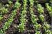 Coentro - 1 Muda - Cultivo Sem Agrotóxico! - Imagem 2
