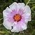 Onze Horas Folha (rosa E Branca) - Cultivo Sem Agrotóxico! - Imagem 1