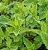 Hortelã Pimenta - 1 Muda - Sem Agrotóxico! - Imagem 2