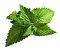 Hortelã Pimenta - 1 Muda - Sem Agrotóxico! - Imagem 1
