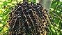 Palmeira Jussara - 1 Muda - Cultivo Sem Agrotóxico! - Imagem 2